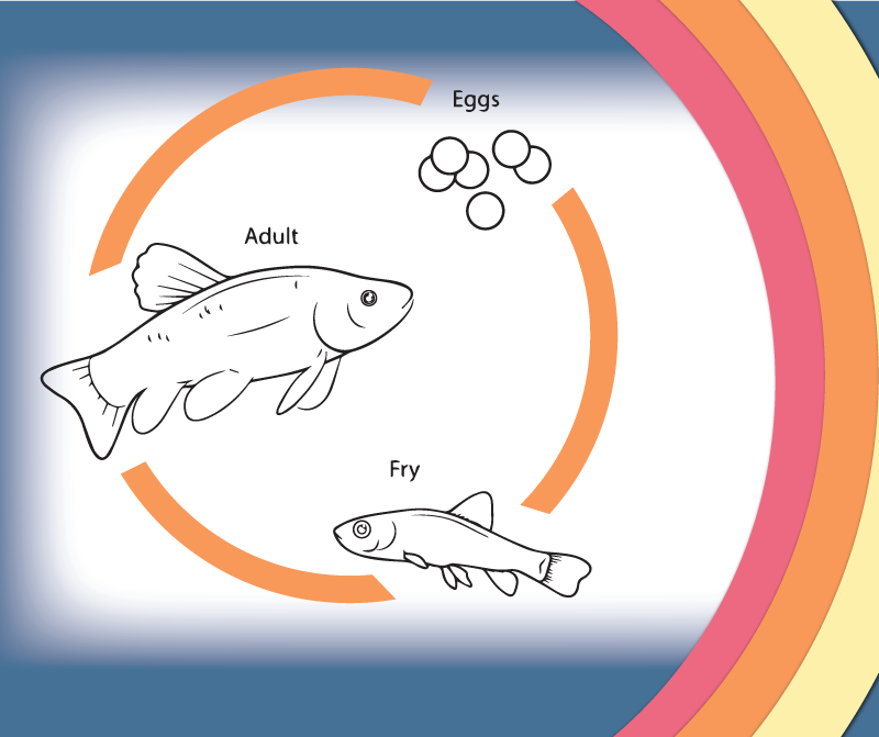 Hatchery life cycle fish life cycle mollusk life cycle for Fish life cycle
